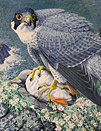 Peregrine with Prey