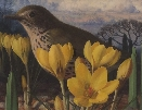 Crocus and Thrush.R.C.Booth